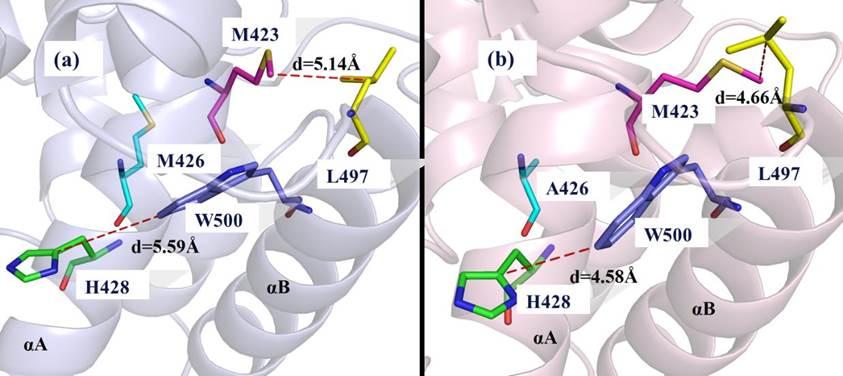 图 WT(a)和M426A(b)体系的cartoon模型。其中,WT和M426A体系分别显示为淡蓝色和淡粉色,重要氨基酸残基显示为不同颜色的棍状模型,红色虚线代表两氨基酸残基之间的距离。